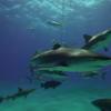 Dominikanische Republik: Haifischfang verboten, auch andere Arten unter Schutz