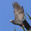 Dominikanische Republik: Die Coronita Taube