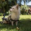 Dominikanische Republik: Die Hunde mit Rädern aus Cabarete