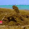 Dominikanische Republik: Seetang belastet erneut die Ostküste