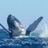 Dominikanische Republik: Die Buckelwalsaison beginnt