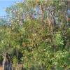 Dominikanische Republik: Moringa - vom Hype zum Verzicht