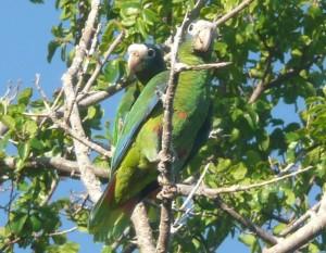 800px-Amazona_ventralis_-Parque_Nacional_Jaragua,_Republica_Dominicana-8