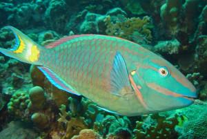 Stoplight Parrotfish (Sparisoma viride) at Salt Pier